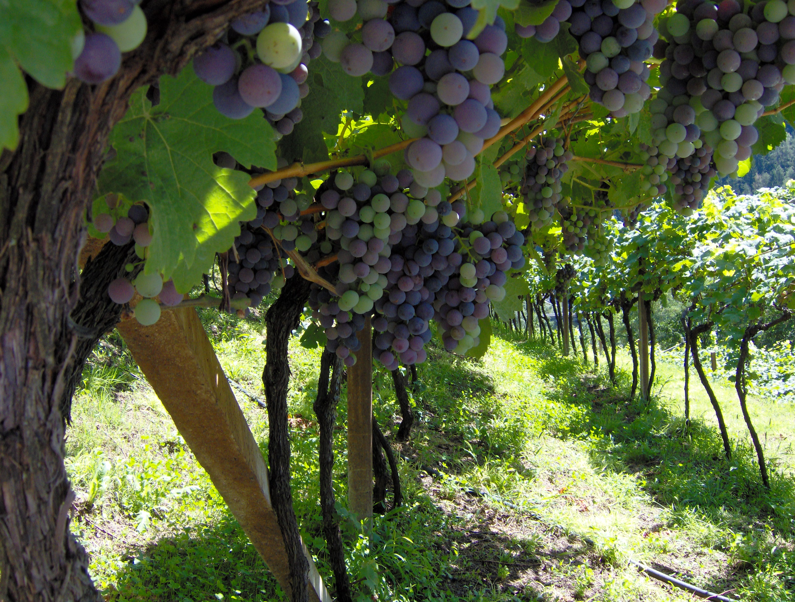 Exploit del vino solo in Campania, ma va potenziato il marketing