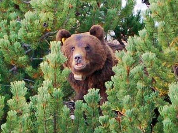 """Ucciso l'orso """"invadente"""" che viveva tra l'Alto Adige e la Svizzera"""